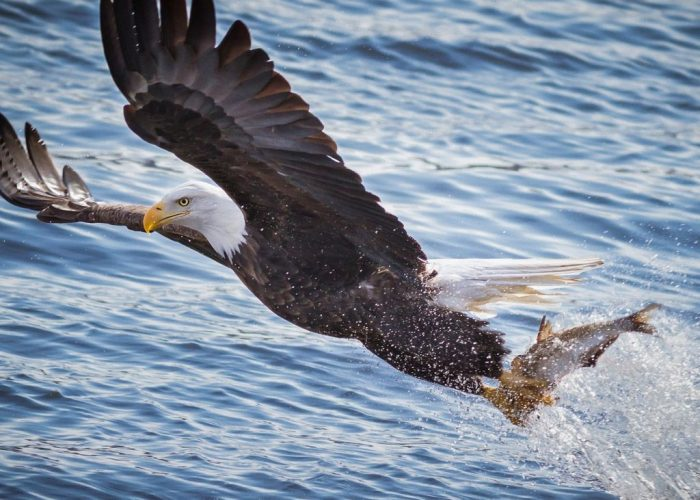 eagle catching fishes